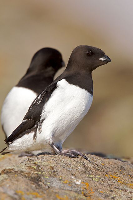 They Live In The High Arctic In Thousands Lay Eggs On Sticks In Shelter Of Rocks Or Cave