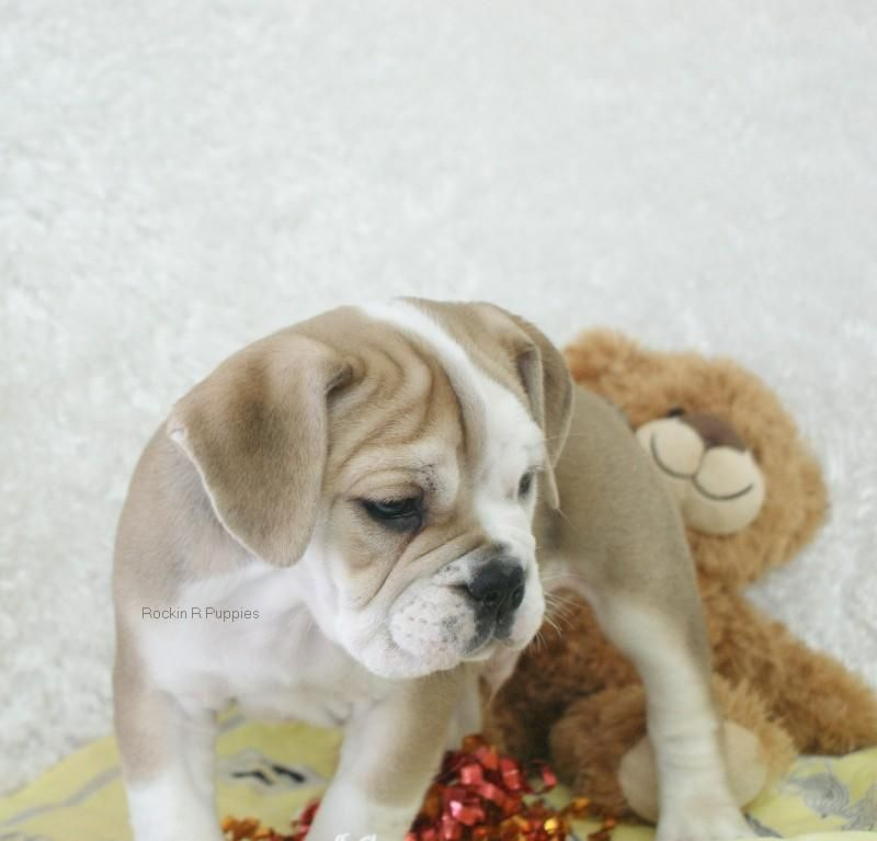 Ruger Beabull Bull: Rockin R Puppies