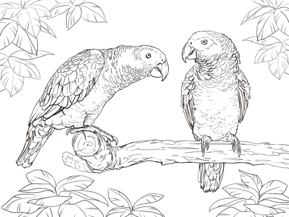 Two African Grey Parrots Coloring page | Templates animals ...