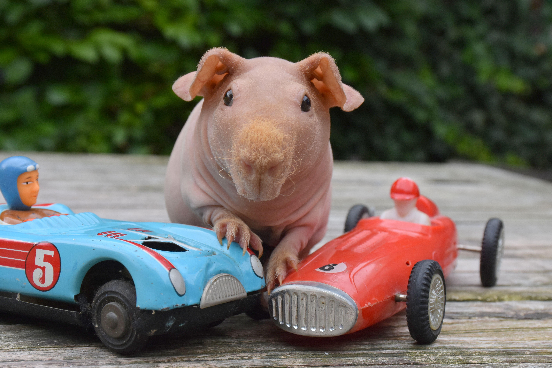 Hippo Onze Jongste Skinny In De Opvang Cavia Cavia S Skinny