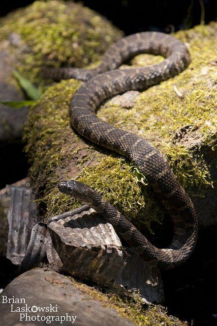 ornamental snake india