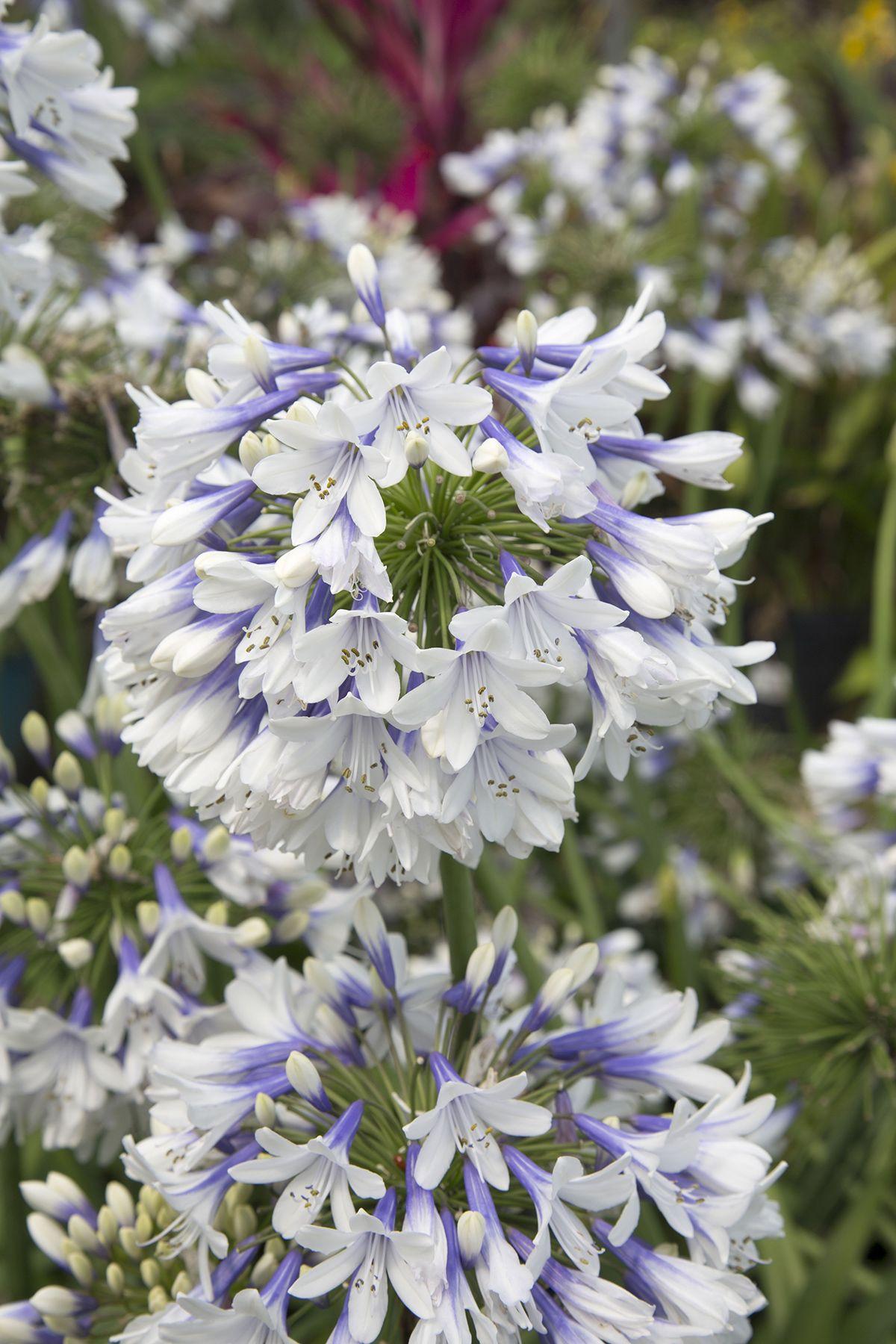 Indigo Frost Agapanthus Flower Garden Plans Plants Agapanthus