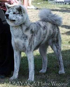 White Silver Brindle Akita Inu Japanese Dogs Japanese Dog Breeds