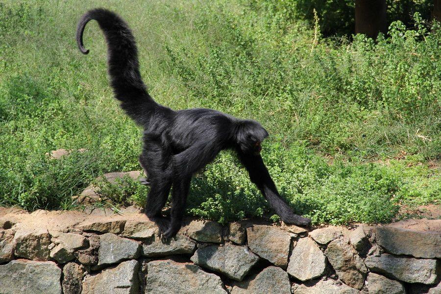 Macaco aranha Zoo SP by Sergio Luiz Ferreira on 500px