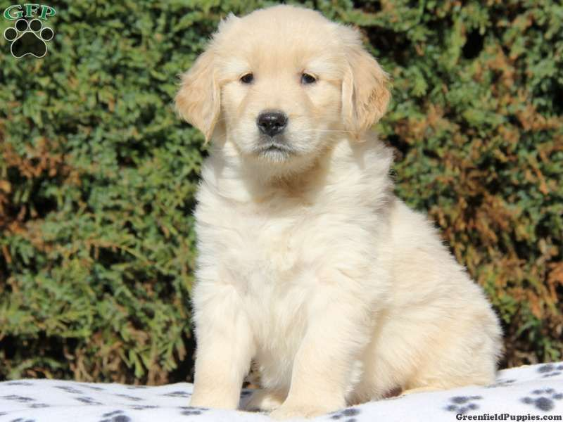 Gibson Golden Retriever Puppy For Sale From Parkesburg Pa