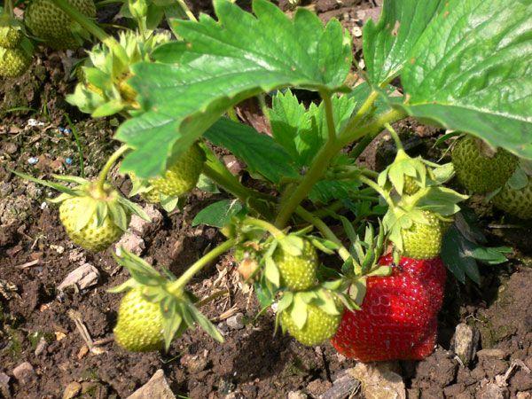 Ernbeerpflanze Polka, mittelfrühe Sorte mit leckeren Erdbeeren. Auch für schwere Böden.