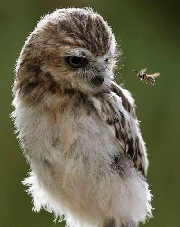 pretty owl looking at a wasp