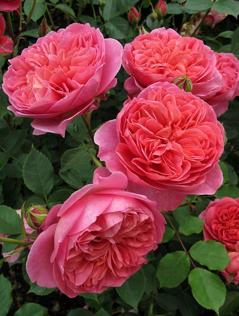 English Roses so dreamy - #FlowerShop