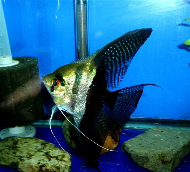 Angel Fish Types Guide To Help Identify Angel Fish Tropical Freshwater Fish Fish Tank Plants