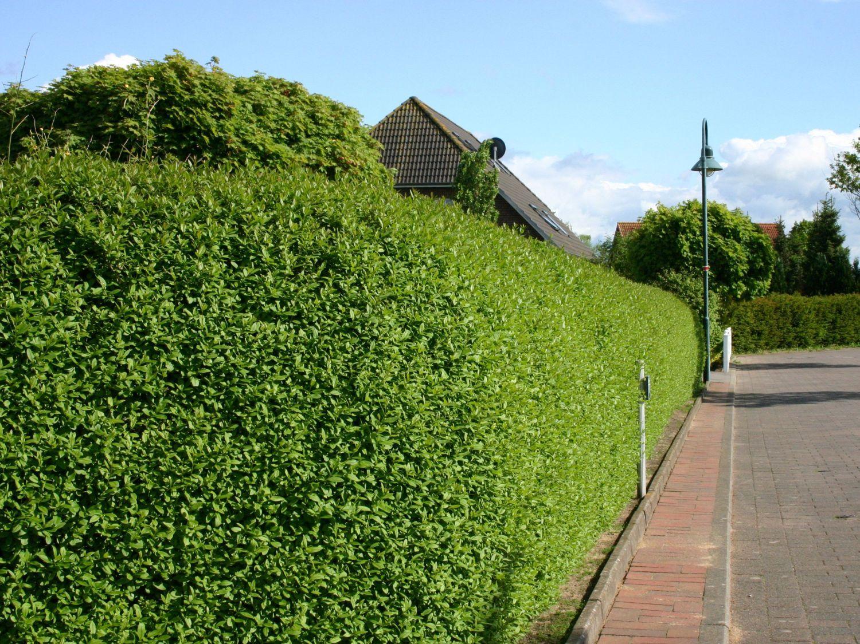 ovalbl ttriger liguster ligustrum ovalifolium pflanzen pinterest garden plants plants. Black Bedroom Furniture Sets. Home Design Ideas