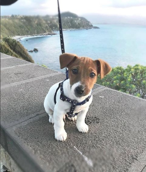 Such A Sweet Face Jack Russell Puppies Jack Russell Jack Russell Dogs