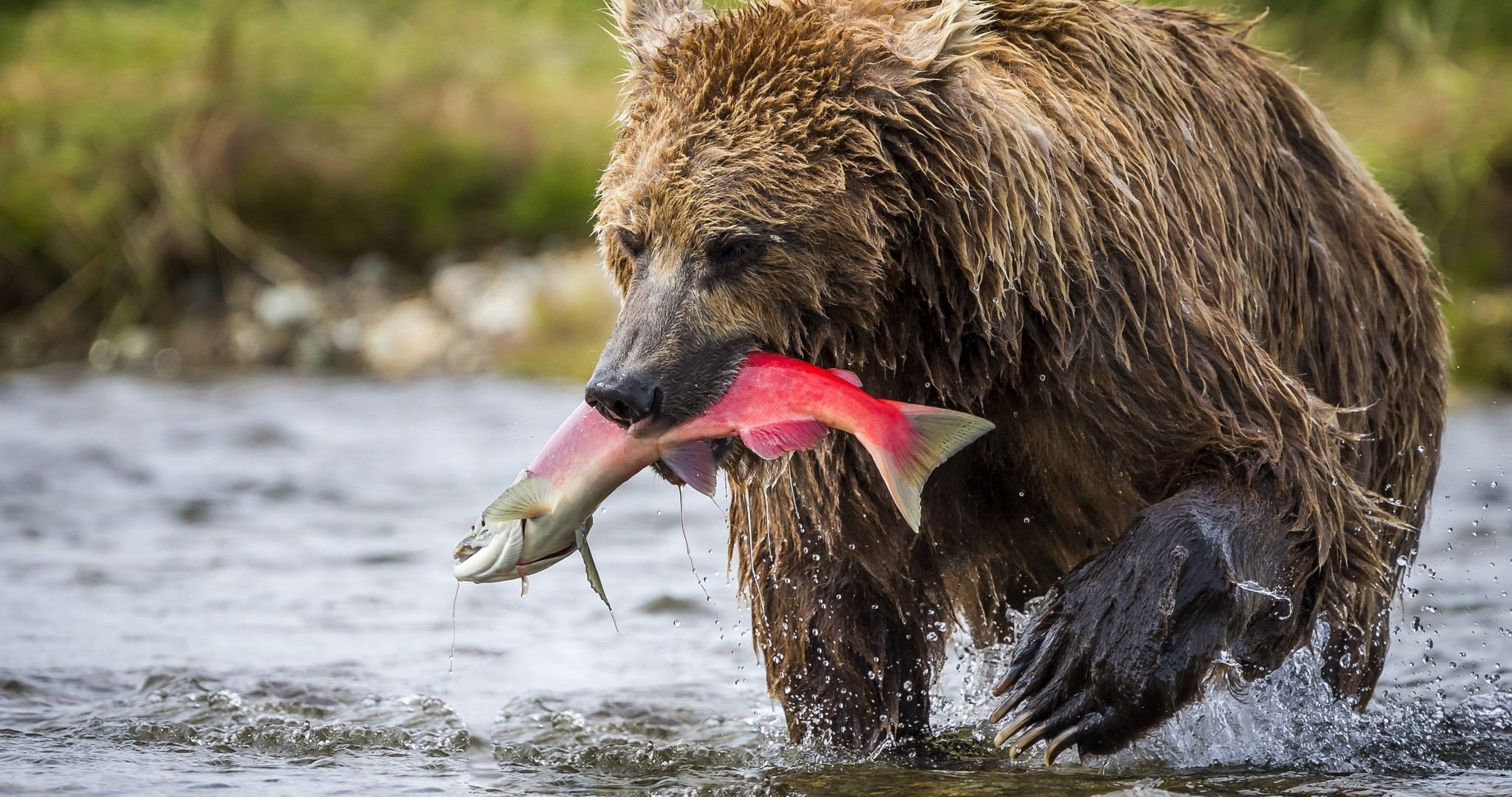 brown bear in alaska 4k ultra hd wallpaper Brown bear
