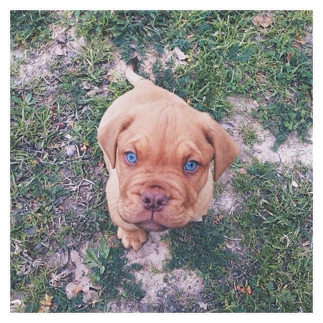 Super Cute French Mastiff With Adorable
