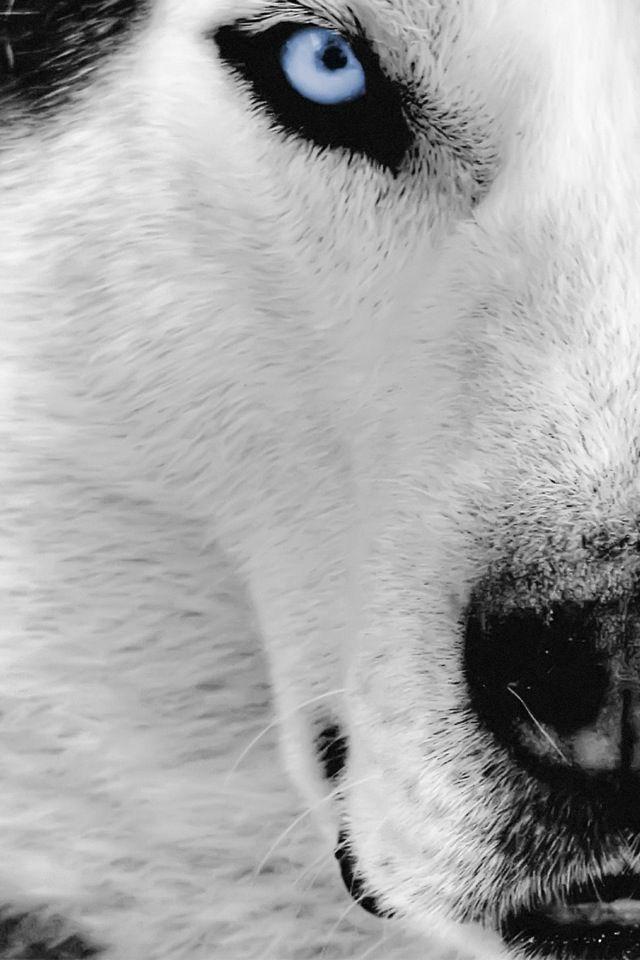 Siberian Husky Wolf Wallpaper Husky Alaskan Malamute