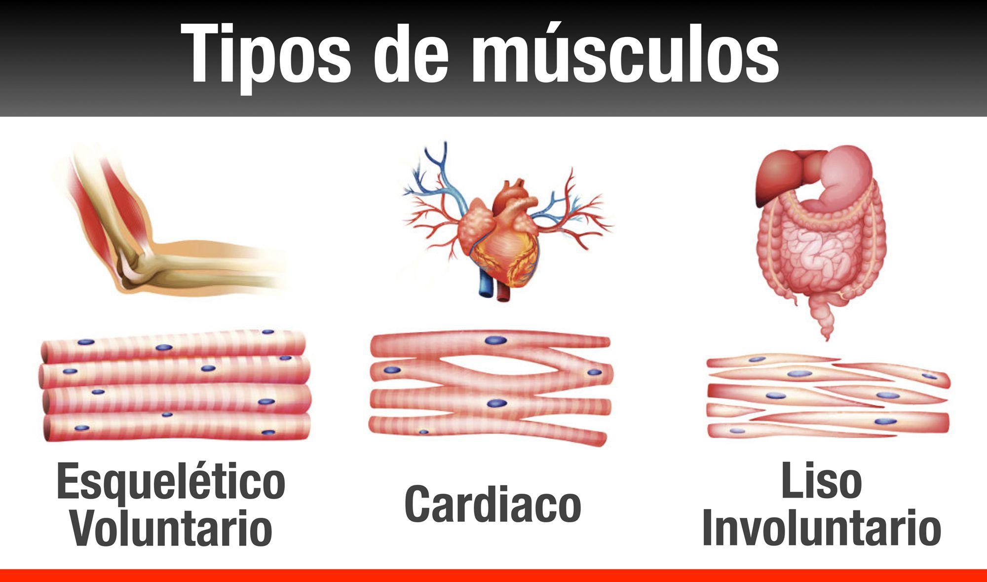 Principales partes del sistema muscular: ○ Grupo de músculos lisos ...