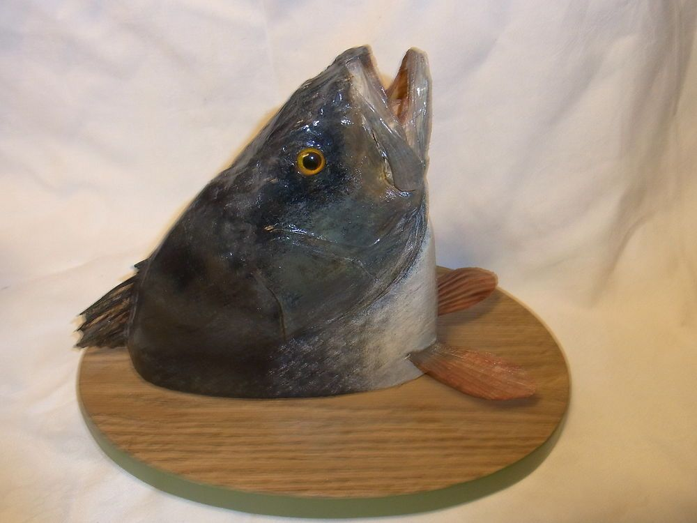 Vintage German Fish Taxidermy Mounted on Wood Base # 2