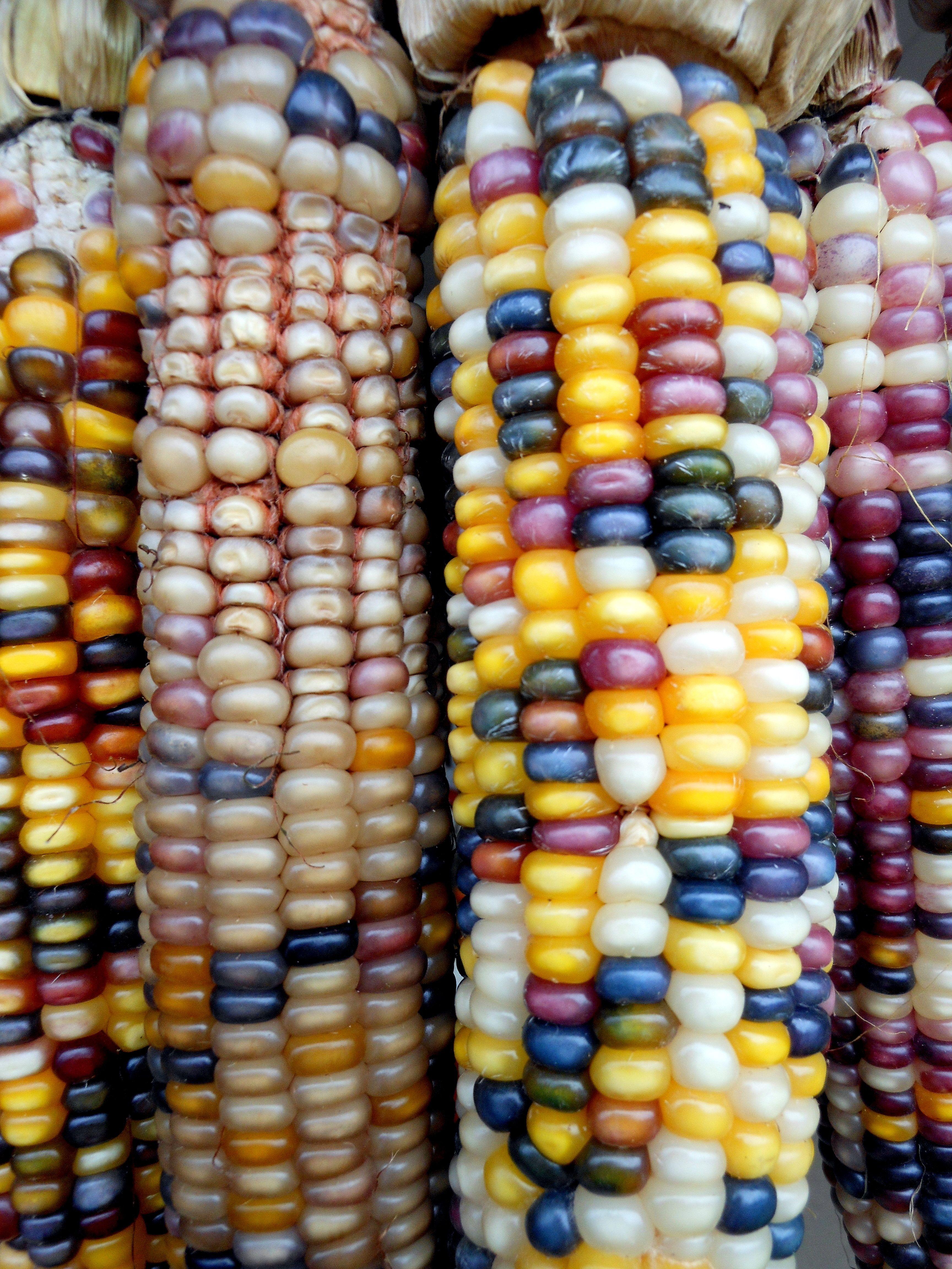 Corny | Rainbow corn, Indian corn, Corny