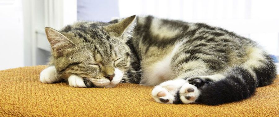 Why Do Cats Sleep So Much? How Many Hours A Day Do Cats