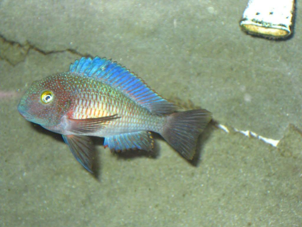 Tropheus Moorii Chaitika Blue Rainbow Cichlids African Cichlids Beautiful Fish