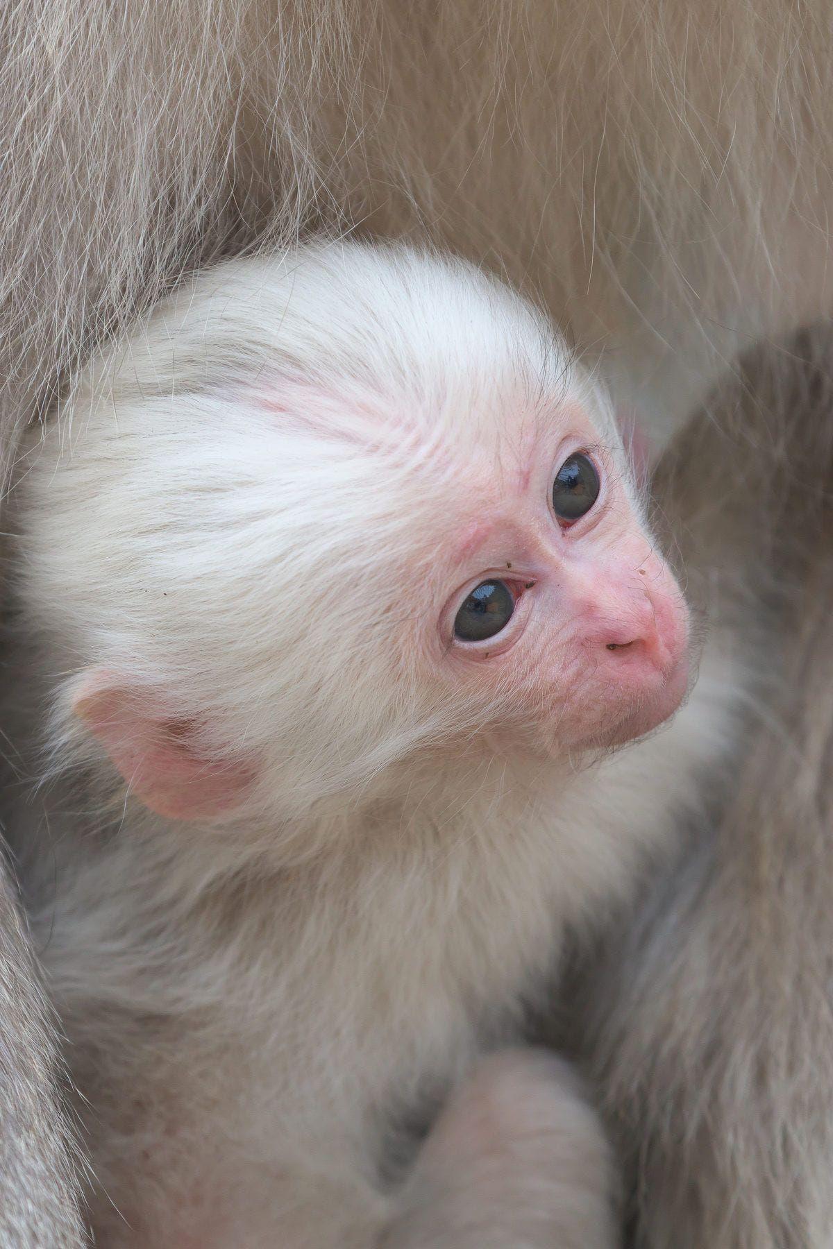 Jigokudani Monkey Park Albino Animals Rare Albino Animals Cute Monkey