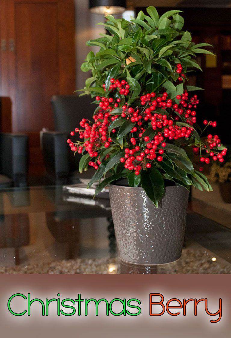 Christmas berry info and care berry garden ideas and plants
