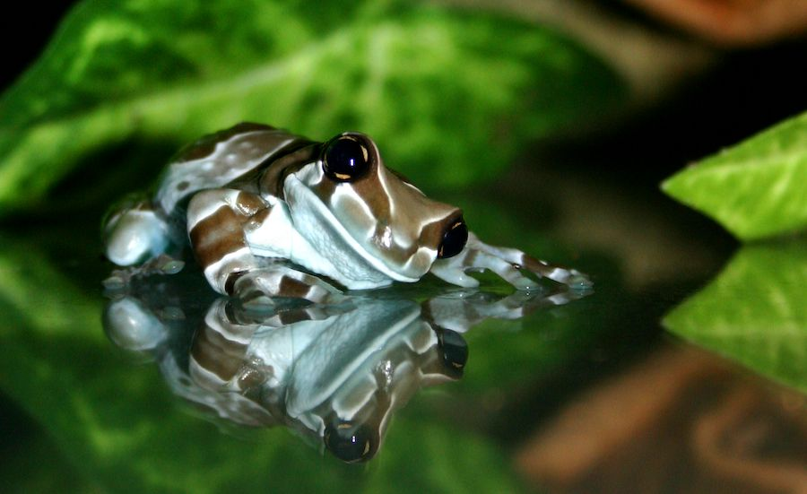 Amazonian Milk Frog Photo By Fauxhead Frogs Toads Frog