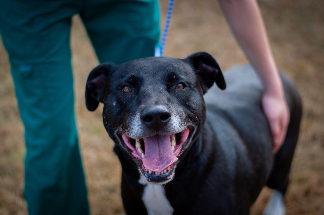 Adopt Dallas on Dog adoption, Bull terrier mix, Terrier