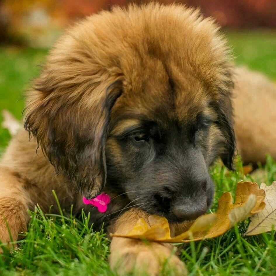 Leonberger puppies expected July 2015 | Ely ... |Leonberger Dogs And Puppies