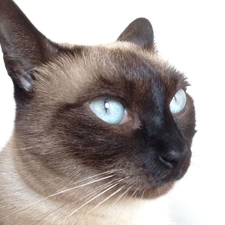 "Ceu Antunes on Instagram ""Maggie princess tonkinese"