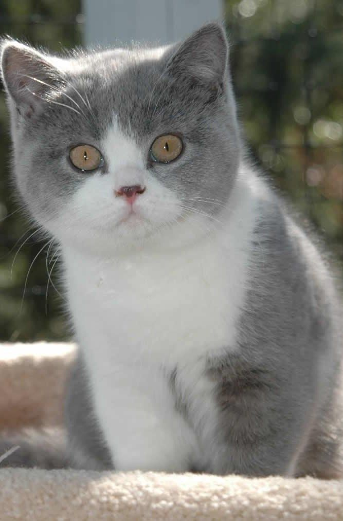"(British Shorthair Kitten) * * ""Blimey! Outta me head and"
