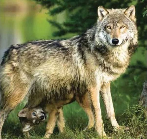 Handsome Gray Wolf And Pup Petra Schmidt Endangered Species Grey Wolf Wolf Life