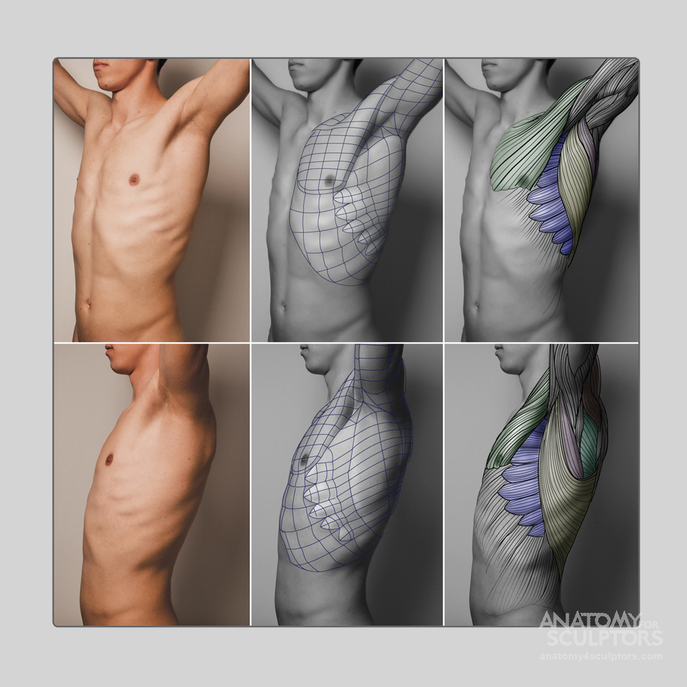 Anatomy For Sculptors - anatomy | Reference: Skinny | Pinterest ...