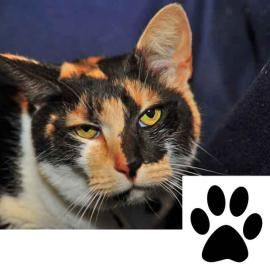 """I am eligible for """"Paws for Consideration."""" Take me home for a few days and see if I fit into your household.  My name is """"Lucy"""". I am a sweet, loving Calico indoor cat. I love to snuggle! I have been evaluated by the vet and I am in good shape. I will provide you with lots of love and affection."""