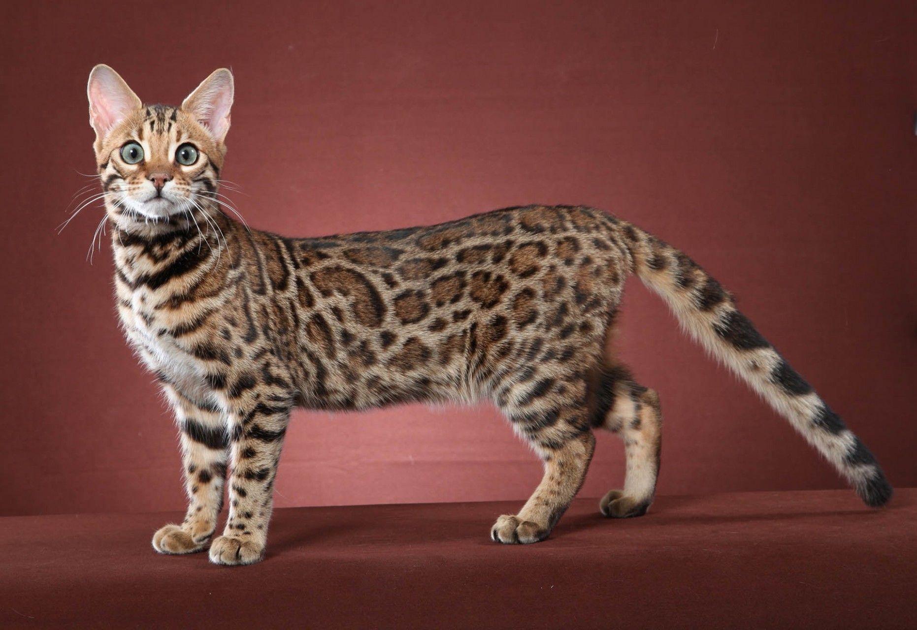 12 Best Bengal Cat Cute Cats In 2020 Bengal Kitten Bengal Cat Kittens Bengal Cat