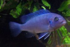 (1) Cobalt Blue Zebra 1.25 inch Maylandia callainos African Cichlid Live Fish