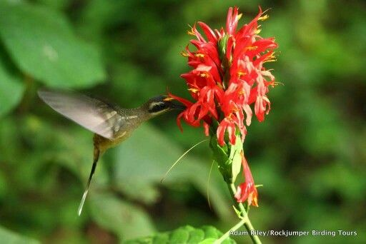 Long-billed Hermit Hummingbird - Note how the flower is designed to apply pollen to the Hermit ' s forehead whilst it is drinking.