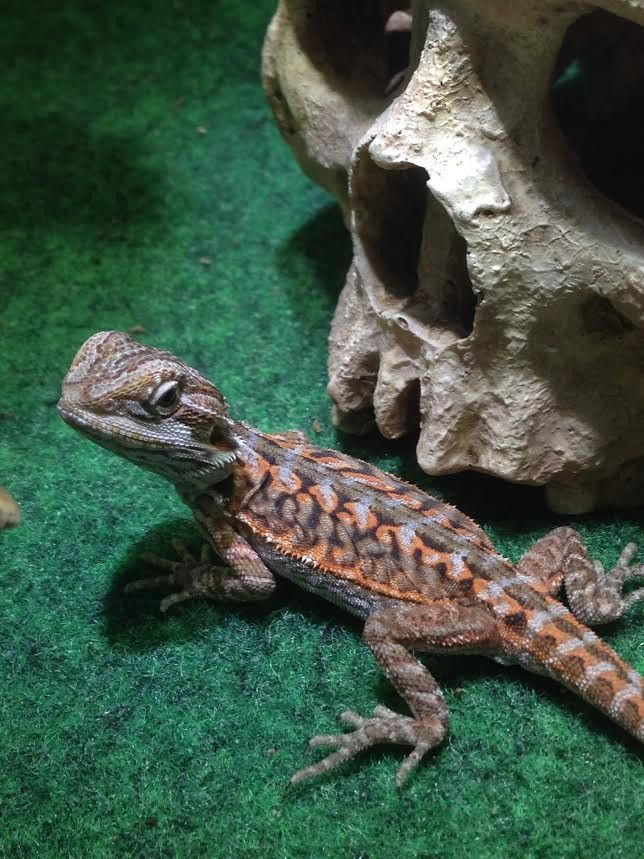 Bearded Dragons (Red Leatherback). This is what my Henry looks like. :)