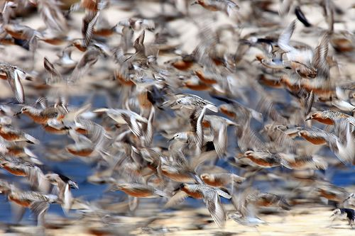 Mixed Migration: Red Knots, Dunlins & Ruddy Turnstones
