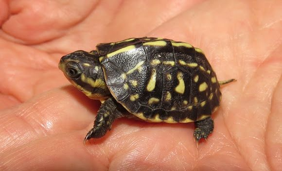 Florida Box Turtle Hatchling Animals Like Jewelry