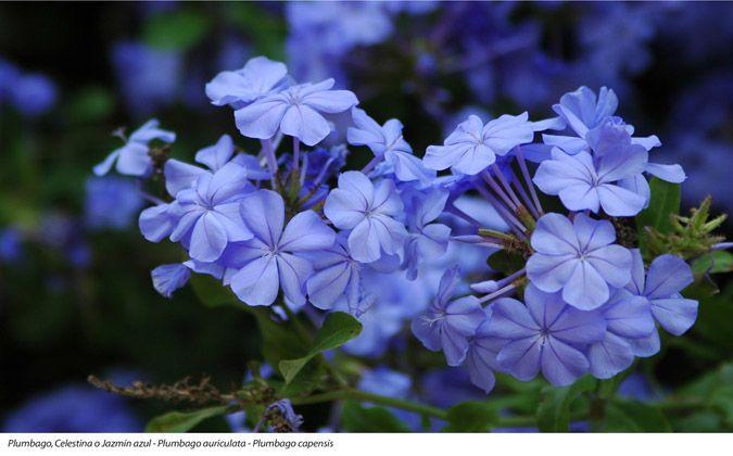 Plumbago, Celestina o Jazmín azul - Plumbago aurículota - Plumbago capensís.