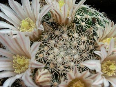 Photograph of Mammillaria, dumetorum