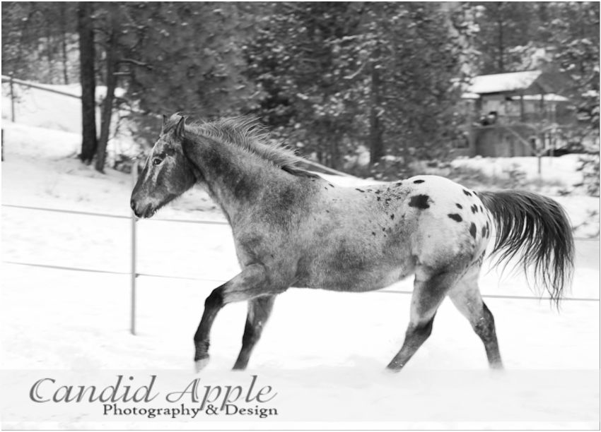 Beautiful horse running in the snow | #Winterhorse | Candid Apple Photography & Design