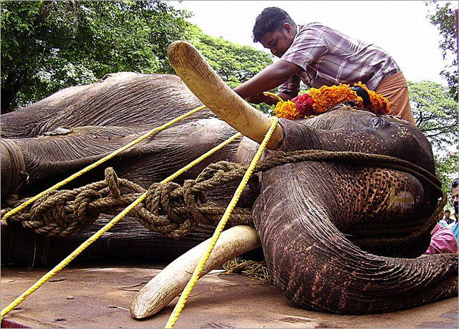 224 Captive Elephants Missing In Kerala 36 Dead In Last Eight