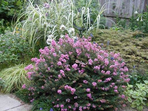 Dwarf Crape Myrtles Lagerstroemia Hybrid Dwarf Varieties Sun Deciduous Chickasaw Newer Hybrids Resistant To Landscaping Plants Plants Ornamental Trees