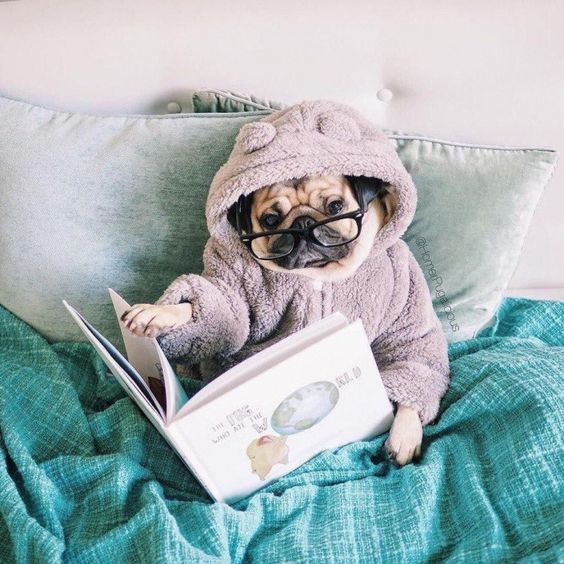Pug is reading book