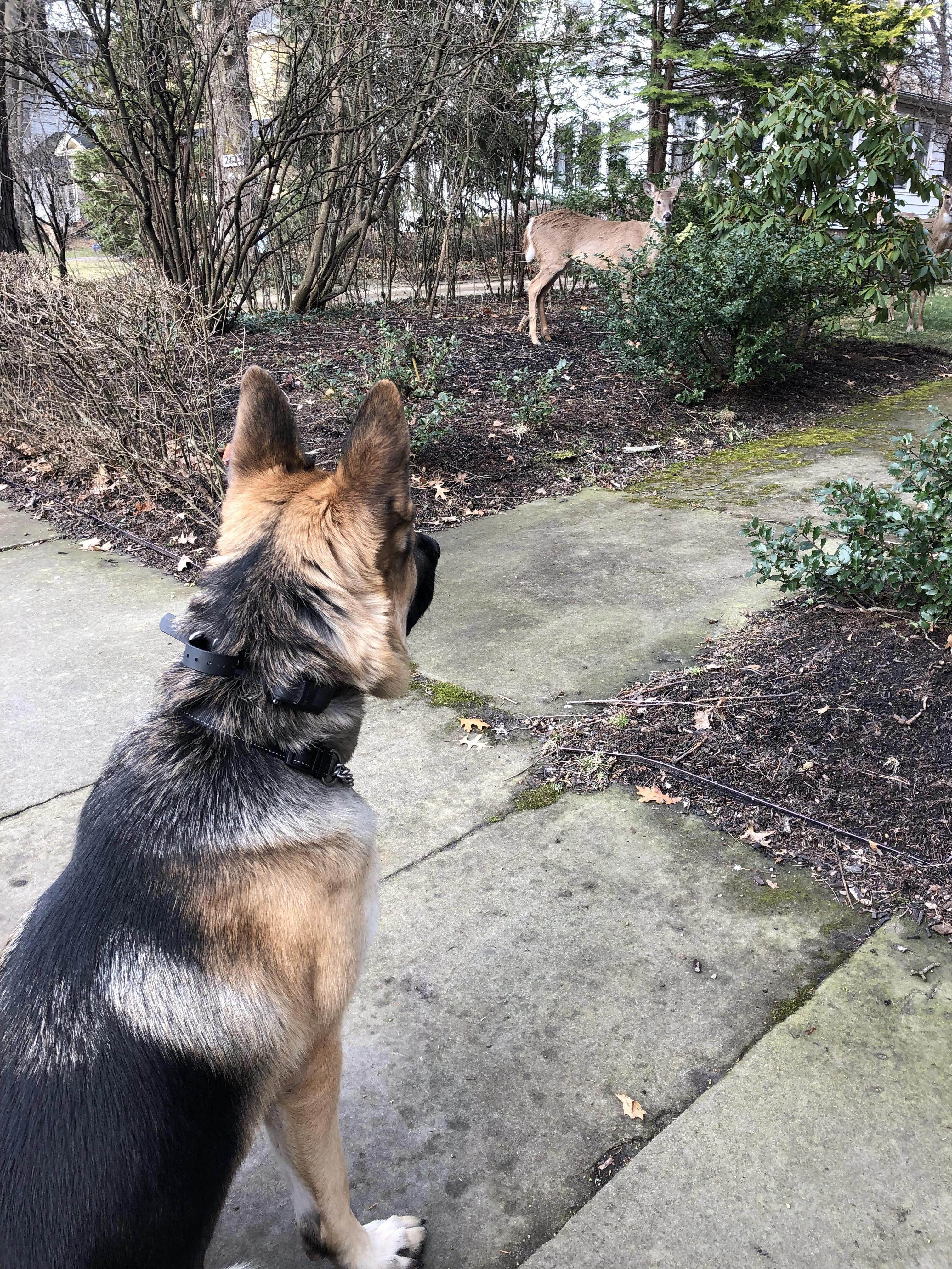 44+ German Shepherd Mix Breed Reviews Dogs, German