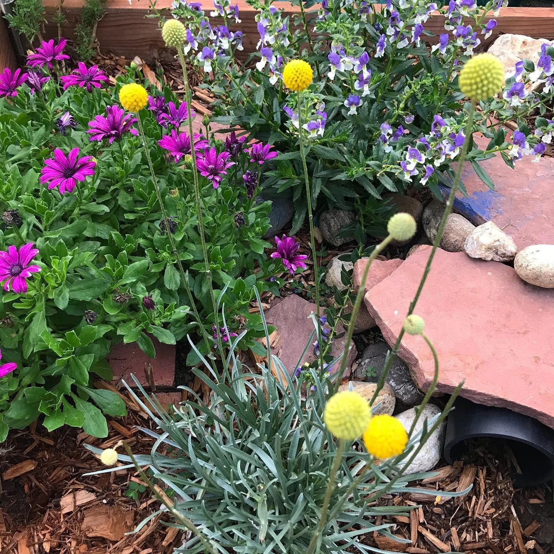 Drumstick Flowers In 2020 Dinosaur Garden Flowers Plants
