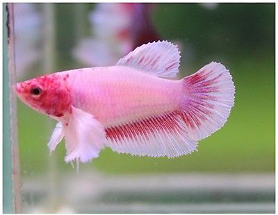 Live betta fish pink dumbo big ear female adorably beautiful girl pink dumbo big ear female sciox Image collections