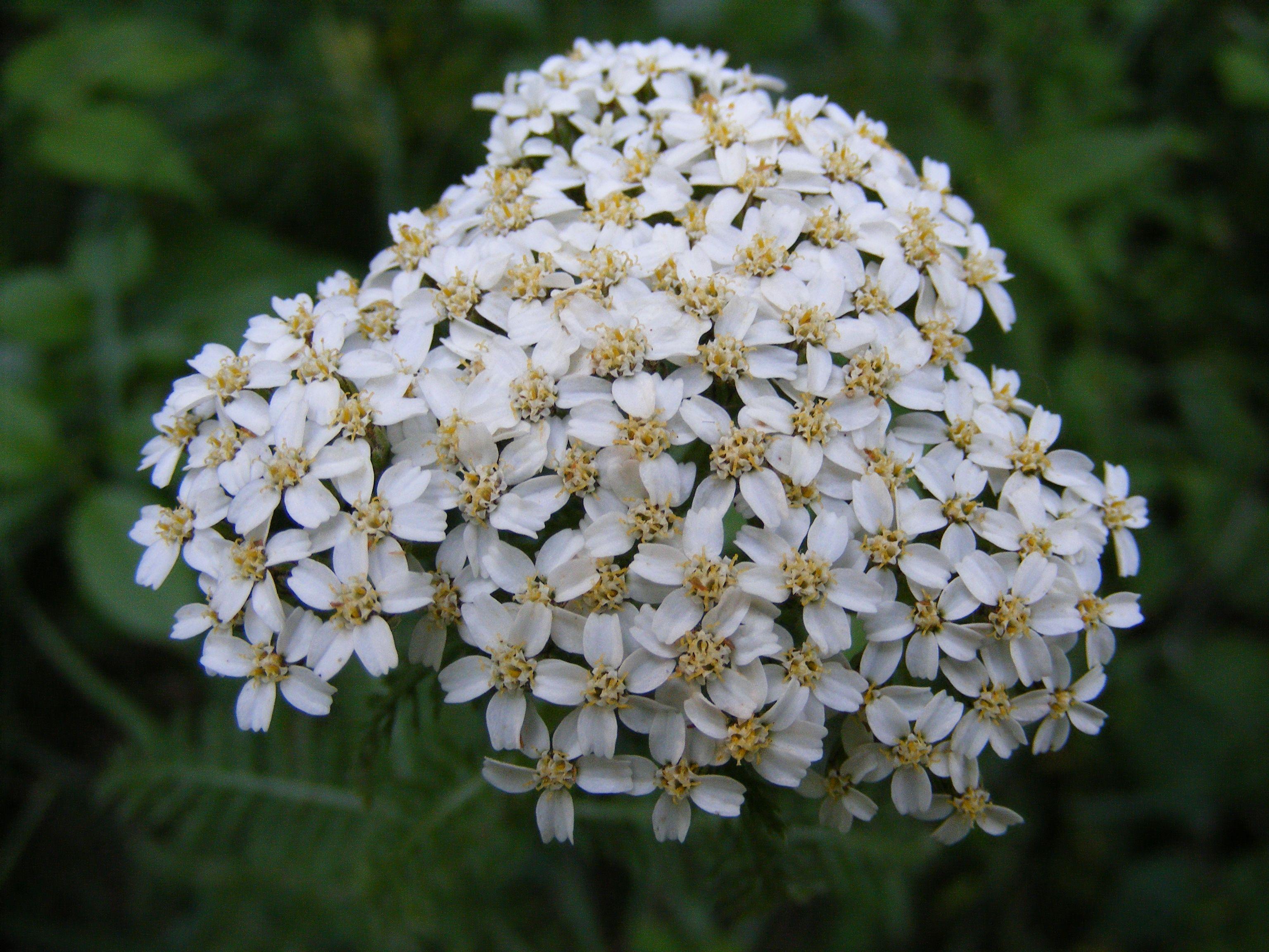 Yarrow Yarrow Plant Plants Plants That Repel Ants