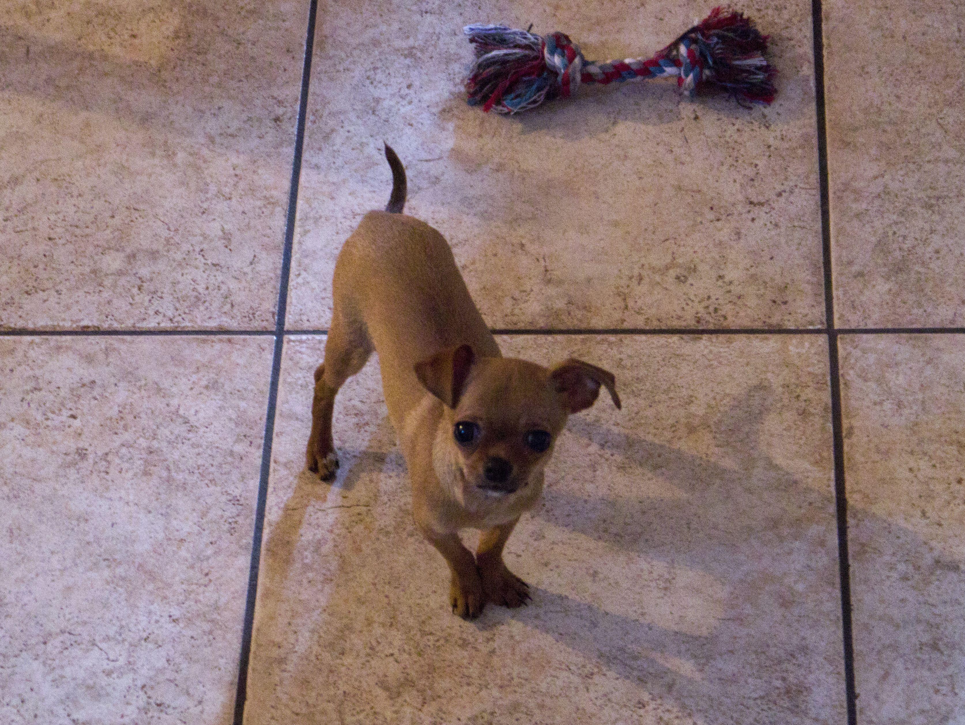 Matilde, a Chihuahua.
